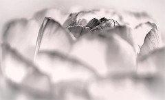 Ranunculus Landscape (FotoGrazio) Tags: composition flowers nature fotograzio blossom colorfulflower floralfantasy digitalphotography painting lovely worldphotographer phototopainting plant contrast macro mothernature waynegrazio adobestock scenic red artofphotography california macrophotography botanical sandiego photographicartist fineart internationalphotographer pattern sandiegophotographer californiaphotographer waynesgrazio curves adobelightroom flower petals sandiegobotanicalgardens phototoart topazadjust botany flickr texture garden art painterly colorful closeup beautiful topazclarity photography photographicart 500px softfocus adobephotoshop flowerpetals mixedmedia surreal