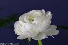 """Ranunculus"" (A.J. Boonstra) Tags: canon70d canoneos canon ranonkel witteranonkel white wit indoor closeup ranunculus ef100mmf28lmacroisusm falconeyesskk2150d falconeyessoftboxumbrella jinbeiwhiteumbrella"
