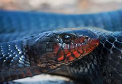 Eastern Indigo Snake (Nick Scobel) Tags: eastern indigo snake drymarchon corais couperi florida georgia orianne endangered threatened species emperor forest texture iridescent scales