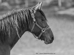 20170219100706 (koppomcolors) Tags: koppomcolors horse häst