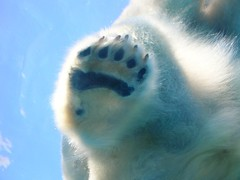 A Bare Paw (Maia C) Tags: bear blue water swimming zoo paw nikon underwater michigan bears lj detroit paddle frombelow lookingup lookup polarbear memory polarbears animalplanet colbert comment detroitzoo opinion permanent stevencolbert blueandwhite oldglory stephencolbert firstthought maiac scomp