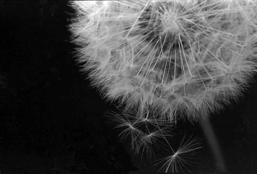Dandilion Seed pod