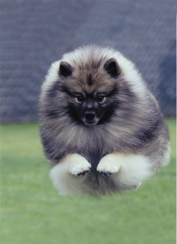 Ready, Ch. Shoreline's Ready T' Winsome, OA, OAJ, Keeshond, Tien Tran photo