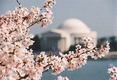Year after year, we can't wait for Spring! (Bill in DC) Tags: 2001 film washingtondc cherryblossoms jeffersonmemorial tidalbasin eosa1