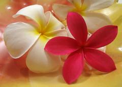 Plumeria Flowers (roddh) Tags: flowers red white macro topv111 canon hawaii oahu blossom plumeria pro1 obtusa roddh