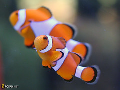 Nemo (DigiPub) Tags: fish restaurant nemo explore yokohama  anemonefish