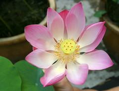 Lotus Flower=