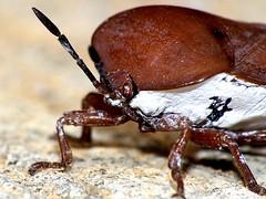 The Big Side (CharlesLam) Tags: macro insect geotagged ilovenature hongkong zoomzoom hemiptera pentatomidae lycheestinkbug tessaratomapapillosa geo:lat=2238046 geo:lon=11421822 kclama