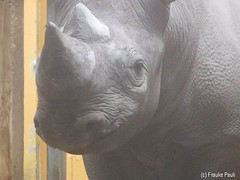 Spitzmaul-Nashorn (CatsFrauPau) Tags: zoo rhino krefeld rhinoceros blackrhino blackrhinoceros nashorn spitzmaulnashorn dicerosbicornis zookrefeld schwarzesnashorn