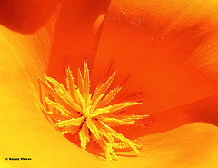 Poppy pollen splattered on petals (Gypsy Flores Photography) Tags: california santacruz flower freeassociation poppy wildflower eschscholziacalifornica papaveraceae gypsyflores specnature rosaroma lamaquisarde