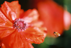 Bee landing on poppy (Jenni Reynolds-Kebler) Tags: flower nature insect bee i500 fourfavs