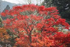 Red leaves (manganite) Tags: autumn trees red film nature colors leaves japan asia seasons minolta tl  onecolor nippon hakone nihon 7000 thecolorred manganite date:year=2005