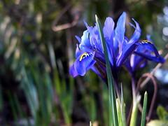 Impetus of iris (saska01) Tags: desktop iris wallpaper macro catchycolors purple bellevuebotanicalgarden printsmall