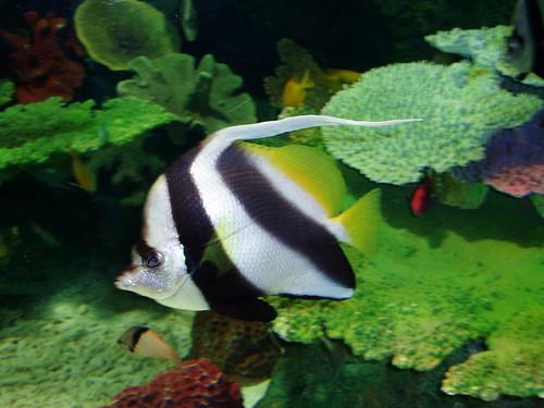 longfin bannerfish ([hatatatedai]) #1571