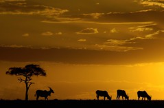Eland - Masai Mara sunset (markeveleigh) Tags: africa park travel sunset tourism nature silhouette horizontal photography gallery natural kenya good wildlife fine reserve conservation safari mara acacia masai eland maasai the maasaimara arkofwildlife itsongwildafrica itsonginvite specnature itsong2nikond70 good1 of lpred