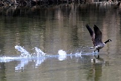 Goose landing (erglantz) Tags: bird water de interestingness flight goose delaware brandywine 1374 77points i500 lovephotography