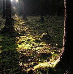 Spotlight (Linda6769 (OFF)) Tags: autumn tree backlight forest germany moss woods herbst thuringia explore stump flechte sonne spruce sunbeam baum autumnal treestump sonnenstrahlen moos sunray conifer nadelbaum hildburghausen baumstumpf herbstlich konifere explored brden