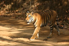Tigress (Chrissie64) Tags: india nature animal cat wow wonderful ilovenature mammal big flickr stripes wildlife tiger bigcat stealth animalplanet tigress prowl exoticcat madhyapradesh bandhavgarh parkstock