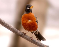 American Robin (nature55) Tags: germantown nature robin birds tag3 ilovenature outdoors tag2 tag1 wildlife aves