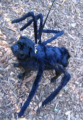 spider_dog (istolethetv) Tags: dog dogs halloween photo costume foto image snapshot picture pug halloweencostume photograph   tompkinssquarepark dogsincostumes flickrexplore dogcostume halloweendogparade explored tompkinssquareparkdogparade dogsinhalloweencostumes spiderpug pugcostume canetravestito caneincostume halloweencostumesfordogs