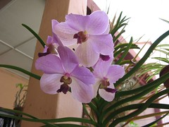 Purple Vanda Orchid in our garden, April 5 2006