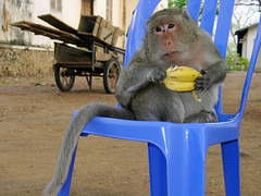 Monkey on Plastic Chair in Pagoda, Cambodia (hn.) Tags: blue copyright animal animals fruit monkey tiere chair cambodge cambodia heiconeumeyer kambodscha seasia soasien southeastasia sdostasien khmer banana bananas monkeys banane blau stuhl cham tier affen kompong affe bananen obst copyrighted plasticchair plasticchairs plastikstuhl kompongcham