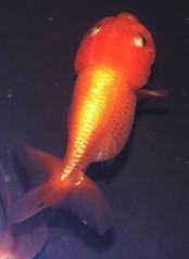 goldfish ranchu