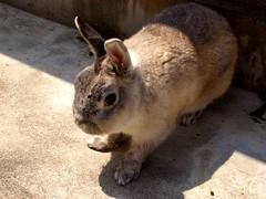 (miho_usa_milk) Tags: rabbit bunny usagi