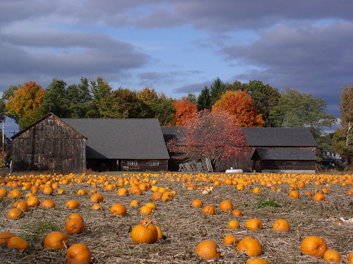 Pumpkin Patch Hatfield MA