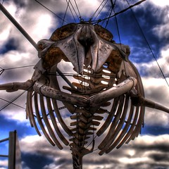 Whale ... (asmundur) Tags: sea sky animal dead skeleton mammal iceland big harbour reykjavik bones hanging strings whale whaling hdr whalewatching cetacea photomatix