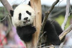 Peeking out to say hi (somesai) Tags: zoo cub smithsonian panda tai nationalzoo endangered pandas meixiang taishan babyanimals dczoo butterstick pandaunlimited