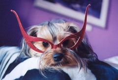 chico devil glasses 2 (vickygr) Tags: red dog halloween yorkie fun glasses sweet devil yorkshireterrier dogswithglasses funnydogs dogwithglasses dogincostume dressedupdog