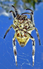 Garden Orb Spider macro against blue sky (Vanessa Pike-Russell) Tags: blue macro texture nature animal wow garden spider iso200 interesting scary vibrant orb australia finepix nsw mostinteresting fujifilm top10 popular f5 araigne 1900s wollongong arachnida myfaves 1000views illawarra s5600 20060419 cm075 impact185 mootrade vanessapikerussell 143429 awesomebugs phlow:emote=lalala