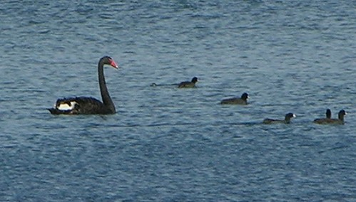 Presque Isle Pa. Black Swan at Presque Isle, PA. A black swan appeared last Fall(2005) where no black swan ahould. My wife took the picture and I did a little cropping so it
