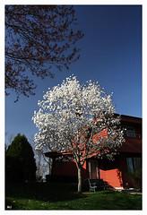 On my way home (Mingfong) Tags: white flower tree spring story albumcover stories  mingfong musicflyer mingfongjan artbrochure sketchoflight mingfongphotography
