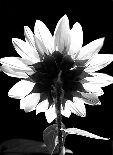 Black & White Sunflower - a photo on Flickriver