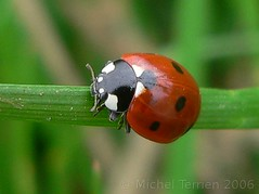 (zogt2000 (No Video)) Tags: france nature topv111 wow gutentag x most ladybird coccinelle gtaggroup goddaym1 buzznbugz