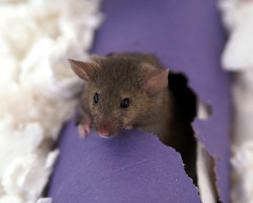http://www batguys com/images/mice/mouse jpg http://upload