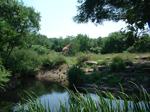 Highland Park Zoo Giraffe