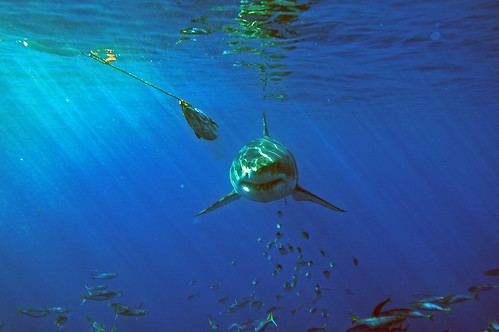 Great White Shark Approaching Head On