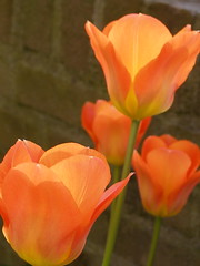 Koninginnedag (Els Millenaar) Tags: orange tulip oranje tulp