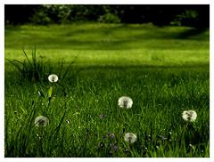 Five Dandelions - by It