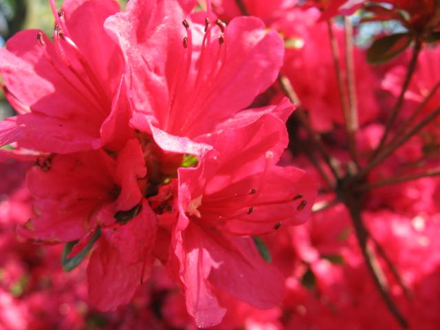 azaleas_red
