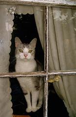Outside In (greenlikeglass) Tags: white house window cat canon outside grey feline kitty notmycat catsandwindows