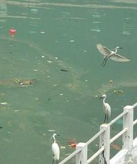 Urban Egrets #2 (Room With A View) Tags: lake pollution egrets bailu qidi