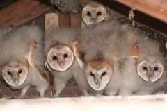 Owlets - by chdwckvnstrsslhm