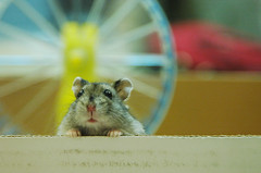 Hello~ (EricFlickr) Tags: pet cute animal taiwan hamster