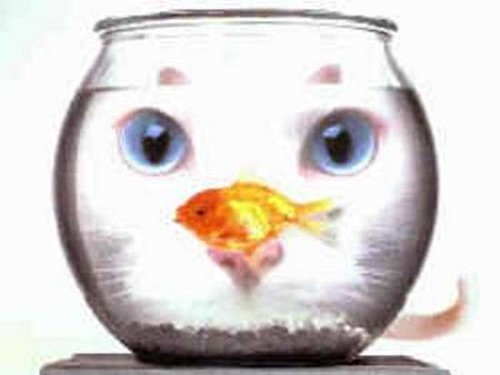 goldfish bowl and cat. wallpaper the goldfish bowl