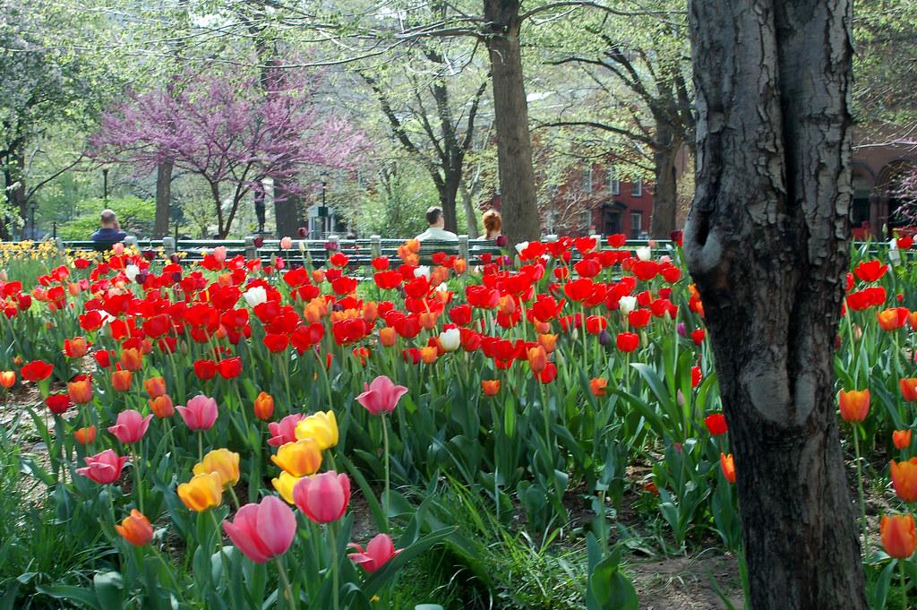 Tulips in Stuyvesant Park