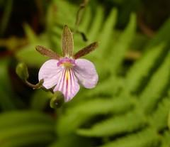 Tetramicra elegans (Brujo) Tags: orchid flower tetramicra
